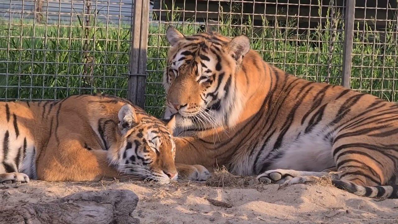 Релакс Тигриный / Tigers Relax