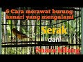 6 Cara Merawat Burung Kenari Yang Mengalami Suara Serak Atau Hilang Suara Full isian(.mp3 .mp4) Mp3 - Mp4 Download