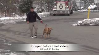 Check Out This Lab's Heeling Before/after Video! Lab Dog Training