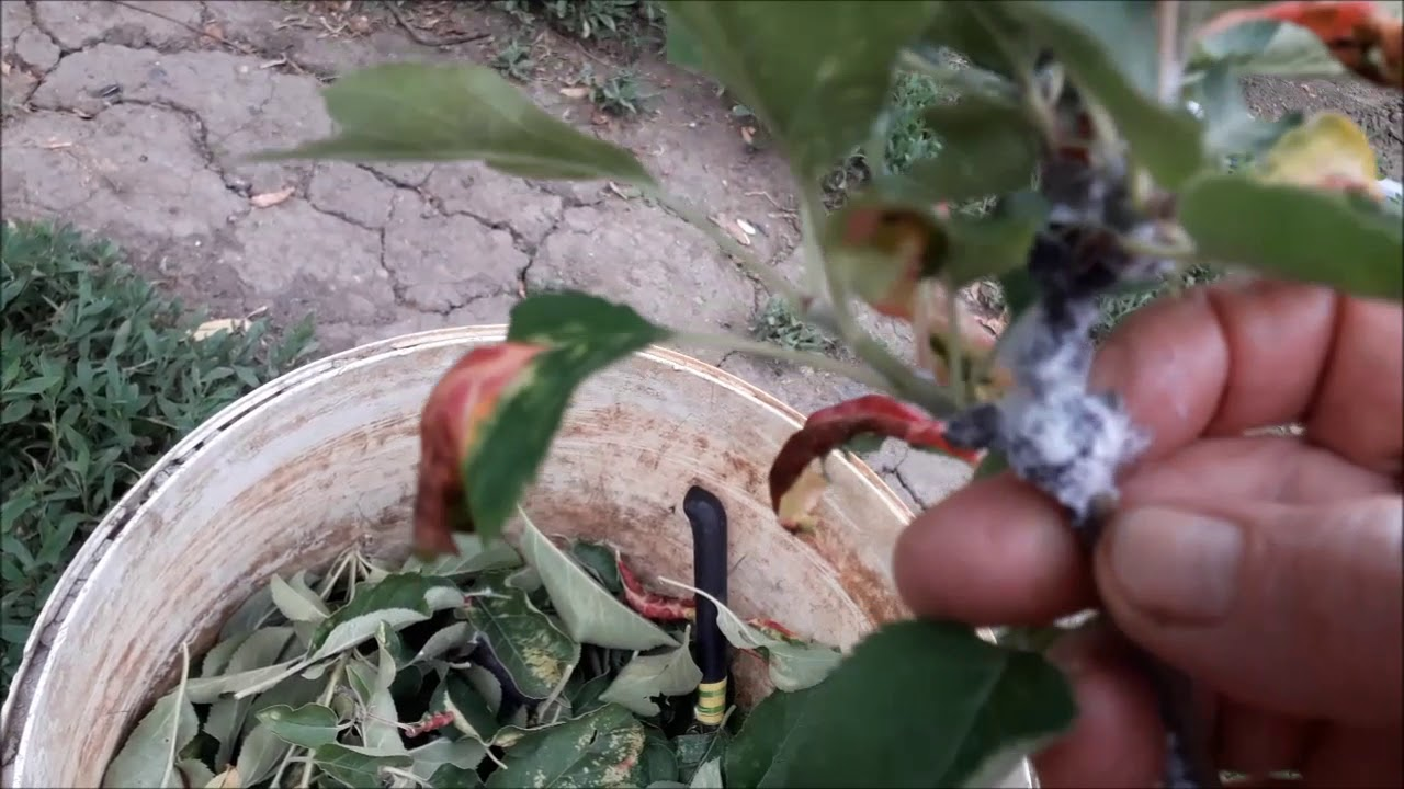 Что делать если краснеют листья  яблони