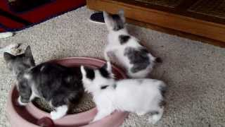 Japanese Bobtail Kittens Playing