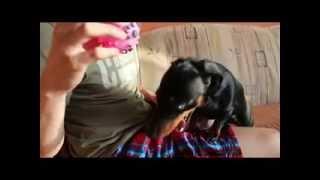 Yawning Dog Bella ( Dachshund )