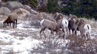 Bighorn Sheep in Poudre Canyon