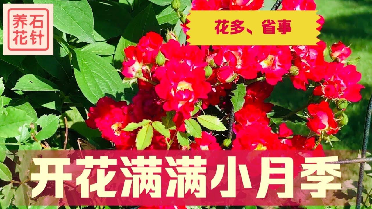 喜欢玫瑰月季?也可以考虑这种小花品种 - 花多,花期长,少维护 - Bush Roses (Cherry Pie?)