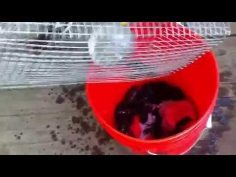 ตกกุ้งเครย์ฟิช Crawfish Crayfish