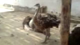 спаривание страусов, Бухара.3GP