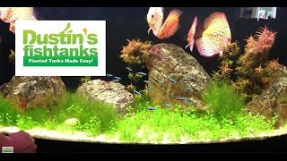 High Tech Co2 Aquarium Plant: Glosso Glossostigma Species Sunday