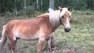 Конь забайкальский