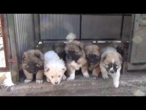 Caucasian Shepherd puppies kennel Sormovskaya Zarya -  Sale!