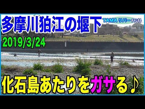 ガサガサ多摩川狛江の堰下・化石島周辺ちょいガサ