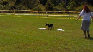 Manchester Terrier - Mulan Running A Coursing Ability Course At Chattanooga
