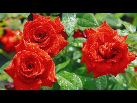 Чайно-гибридные розы. Популярные сорта роз