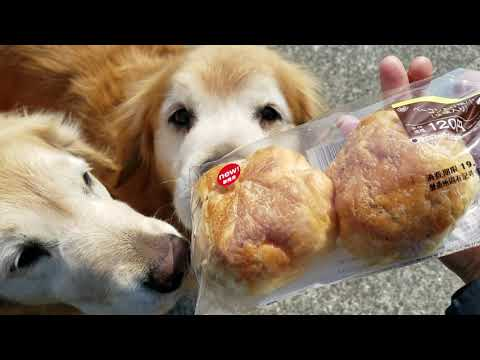 私は春を探してゴールデンレトリバーはパンを探して
