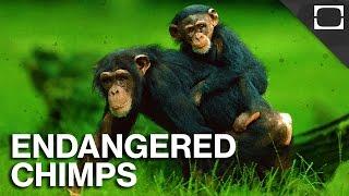 America's Plan To Save Chimpanzees