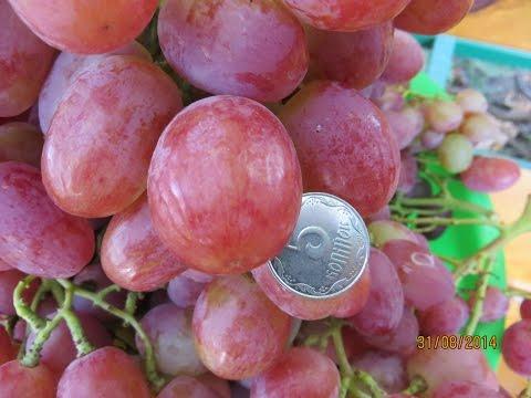 Сорта винограда их характеристики и описание