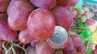 МОЙ ВИНОГРАДНИК ( сорта винограда)(Небольшая экскурсия - дачная любительская коллекция винограда., 2015-08-18T18:19:55.000Z)
