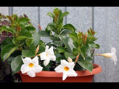 Мандевилла (Дипладения). Роскошная цветущая лиана у вас дома. Особенности ухода