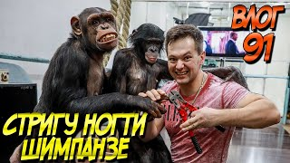 Стригу ногти шимпанзе Коронавирус мешает работе циркам