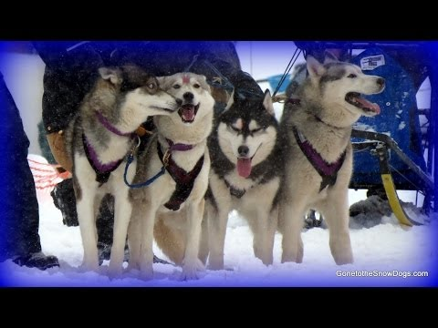 Sled Dog Races! Kalkaska Winterfest 2014