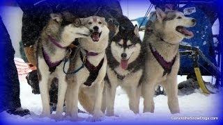 Sled Dog Races! Kalkaska Winterfest 2014