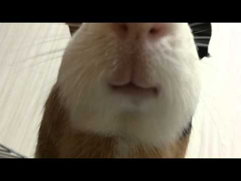 Guinea pig chewing something