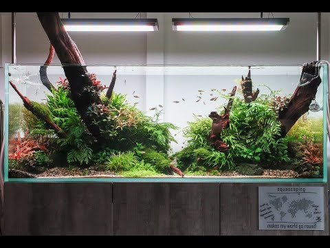 150cm-aquascape-created-by-filipe-oliveira-at-aquarium-gardens,-300-days-later