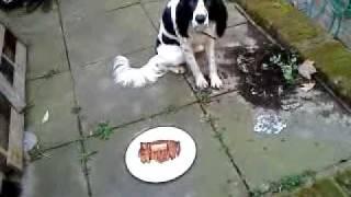 Springer Spaniel Dog Eating A Steak