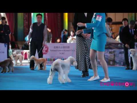 Bedlington Terrier and Beauty in China NGKC BEIJING SHOW
