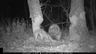 Fat Beaver - Falling Tree - Maine