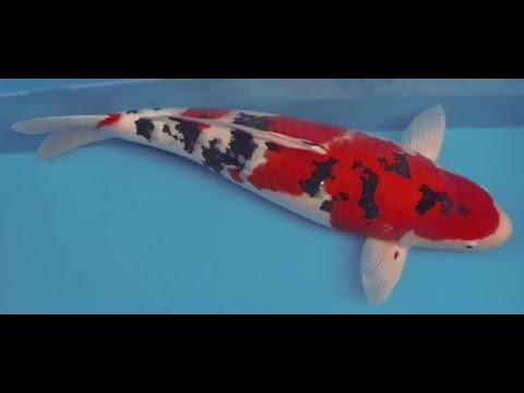 Beautiful japanese koi champion sanke youtube for Sanke koi fish