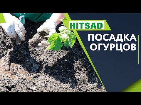 Посадка Огурцов в открытый грунт 🥒 Супер Способ посадки для Лучшего Урожая 🥒 рассада огурцов