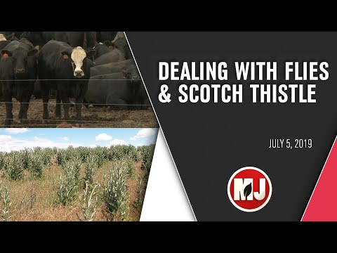Dealing with Flies and Scotch Thistle | July 5, 2019