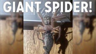 Photos show reported huntsman spider eating pygmy possum thumbnail