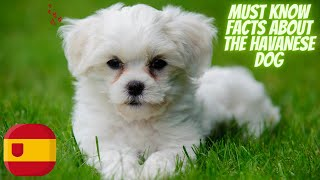 Getting To Know Your Dog's Breed: Havanese Dog Edition