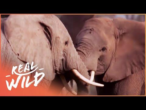 Elephants Of Kilimanjaro [Wildlife Documentary] | Wild Things