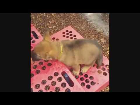 "Early Development & Training ""Simba"" 7 Wks German Shepherd Puppy Obedience"