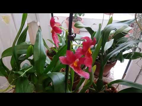 Орхидеи Буррагеара Nelly Isler и онцидиум Tsiku Maguerit распустились полностью !