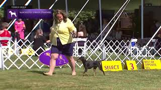 Manchester Terriers Standard | Breed Judging 2021