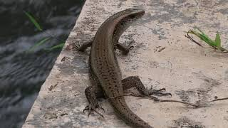 Lizard Video thats makes you jump | Relaxing Nature Videos and Sounds