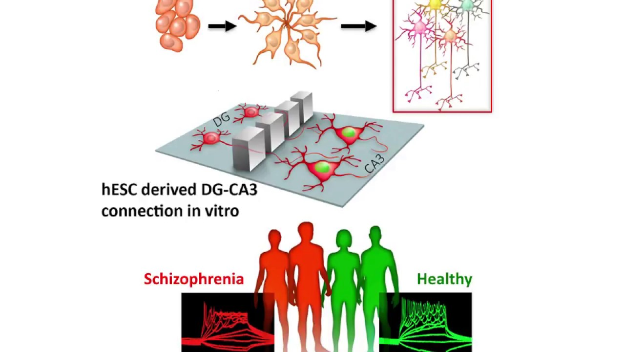 CA3 Neurons Generated From HPSCs As An In Vitro Model Of Hippocampal Connectivity