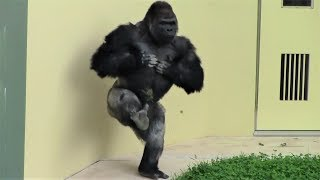 シャバーニ半端ないって Shabani is awesome ! Gorilla