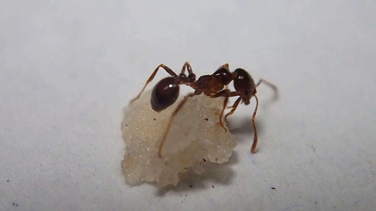 Amber Nevada Wiki solenopsis geminata - antwiki