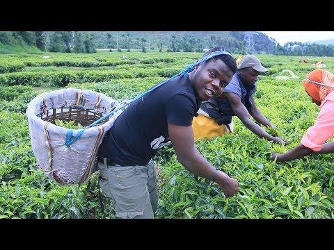 Harvesting Famous Rwanda Tea With Farmers