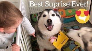 HUSKY SURPRISES BABY!!