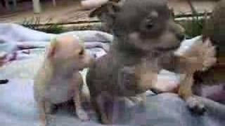 Spider's Puppies