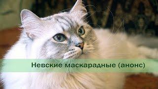 Невская маскарадная кошка (анонс)