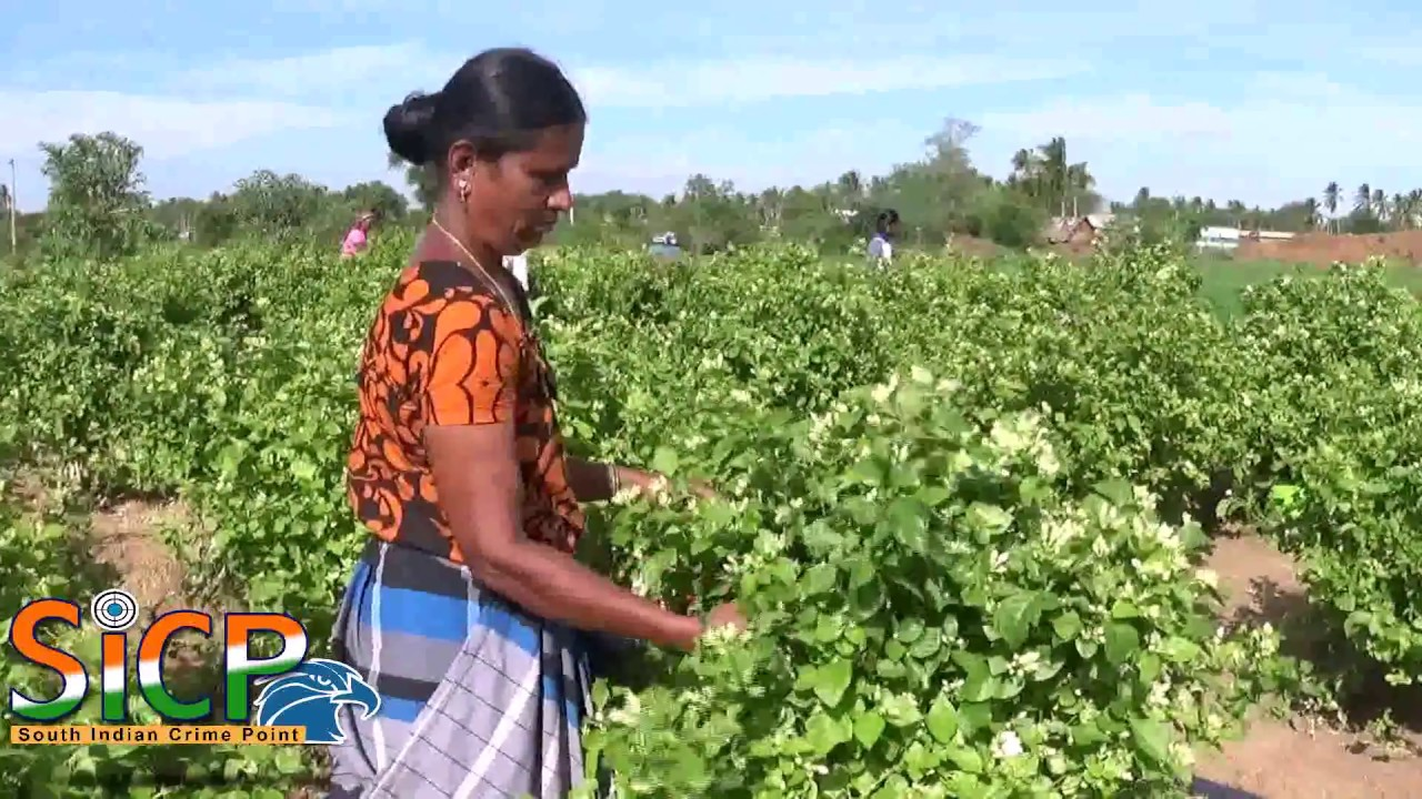 Jasmine Flower Cultivation At Namakkal Youtube