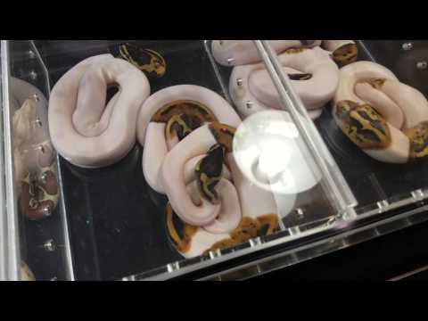 2016 Daytona National Reptile Breeder Expo!!!