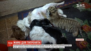 На Запоріжжі собака вигодовує покинуте тигреня