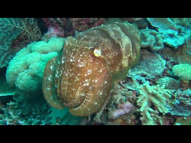 CuddlefishWakatobi
